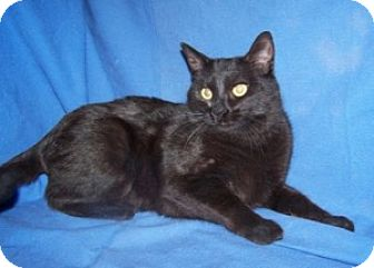 Domestic Shorthair Cat for adoption in Colorado Springs, Colorado - Colossus
