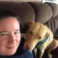 Labrador Retriever/Golden Retriever Mix Dog for adoption in New York, New York - Joey