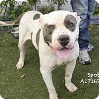 American Pit Bull Terrier Dog for adoption in Los Angeles, California - SPOT