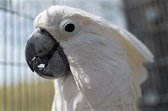 Cockatoo for adoption in Elizabeth, Colorado - Popcorn