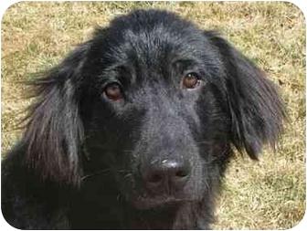 Labrador Retriever/Golden Retriever Mix Puppy for adoption in Evergreen, Colorado - Potter