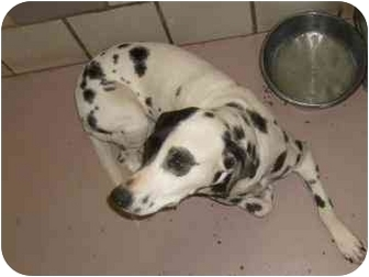 Dalmatian Dog for adoption in League City, Texas - Jaclyn