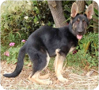 German Shepherd Dog Puppy for adoption in Los Angeles, California - PUPPY MAX NEEDS A SPECIAL HOME