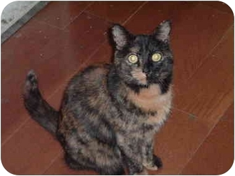 Domestic Shorthair Cat for adoption in Washington Terrace, Utah - Boo