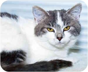 Domestic Shorthair Kitten for adoption in Warren, Pennsylvania - Noelle