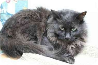 Domestic Mediumhair Cat for adoption in Okotoks, Alberta - Bernard