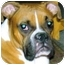 Photo 3 - Boxer Dog for adoption in Gainesville, Florida - Kenny