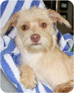 Poodle (Miniature)/Terrier (Unknown Type, Small) Mix Puppy for adoption in New Jersey, New Jersey - NJ - Lily