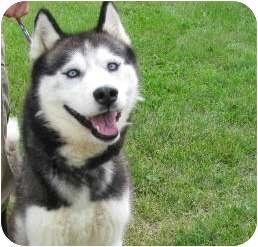 Husky Dog for adoption in Columbiaville, Michigan - Samson