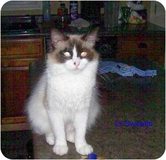 Ragdoll Cat for adoption in McMinnville, Tennessee - Lil Sweetie