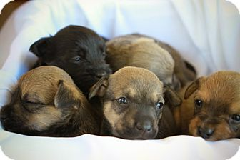 Scottie, Scottish Terrier/Shepherd (Unknown Type) Mix Puppy for adoption in Mission Viejo, California - Puppies
