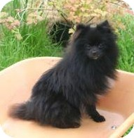 Pomeranian Dog for adoption in Weatherford, Texas - LA LA