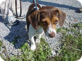 Beagle Mix Dog for adoption in Hammonton, New Jersey - Bailey