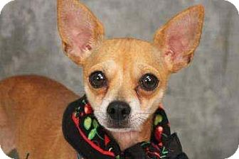 Chihuahua Dog for adoption in Lyman, South Carolina - Missy