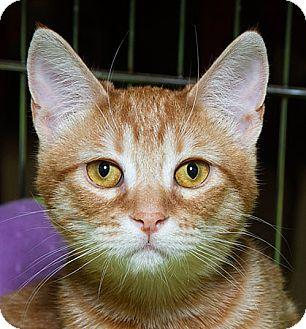 Domestic Shorthair Cat for adoption in Sacramento, California - Rusty M