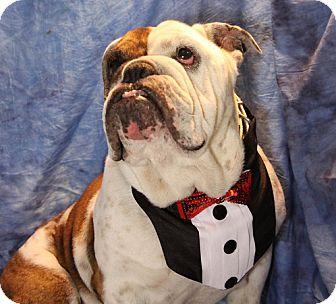 Bulldog Mix Dog for adoption in Chicago, Illinois - Jackson
