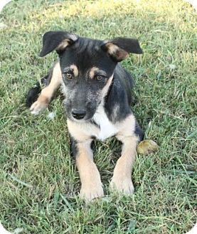 German Shepherd Dog Mix Puppy for adoption in Salem, New Hampshire - Frankie