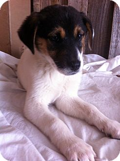Australian Shepherd Mix Puppy for adoption in Leland, Mississippi - BIANCA/Puppy Love!