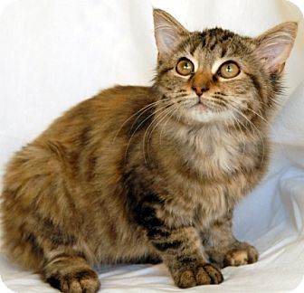 Domestic Mediumhair Cat for adoption in Newland, North Carolina - Sissy