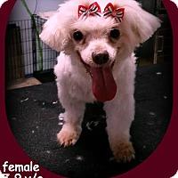 Adopt A Pet :: Candy - Miami, FL