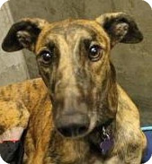 Greyhound Dog for adoption in Tucson, Arizona - Jasmine