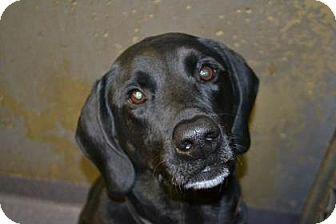 Labrador Retriever Mix Dog for adoption in Edwardsville, Illinois - Josh