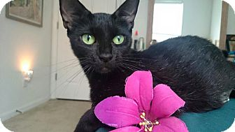 Domestic Shorthair Cat for adoption in Tampa, Florida - Tabitha