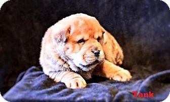 Shar Pei/Chow Chow Mix Dog for adoption in SAN ANTONIO, Texas - Tank