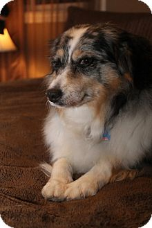 Australian Shepherd Mix Dog for adoption in London, Ontario - Gypsy