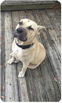 Mastiff Mix Dog for adoption in Parma, Ohio - Sandy