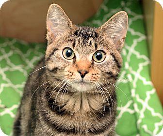 Domestic Shorthair Cat for adoption in Royal Oak, Michigan - SEAN