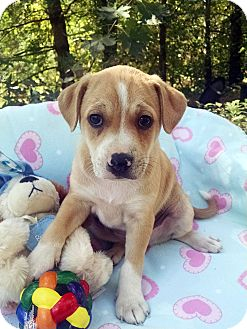 Shar Pei/Boxer Mix Puppy for adoption in Marion, North Carolina - Cowboy