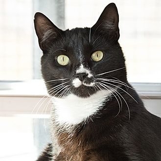 Domestic Shorthair Cat for adoption in Wilmington, Delaware - Kung Pao