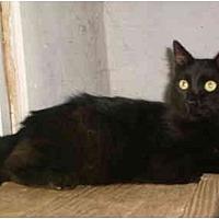 Domestic Shorthair Cat for adoption in Anton, Texas - Preacher
