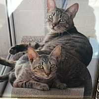 Adopt A Pet :: Adorable Bonded Pair! Anthony and John-Robie - Brooklyn, NY