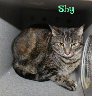 Domestic Shorthair/Domestic Shorthair Mix Cat for adoption in Melbourne, Kentucky - Shy