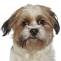 Adopt A Pet :: Alfie - Fort Lauderdale, FL