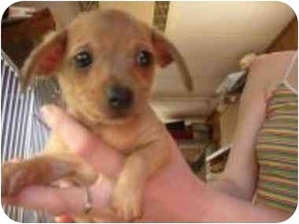 Chihuahua Mix Puppy for adoption in San Diego/North County, California - Donald
