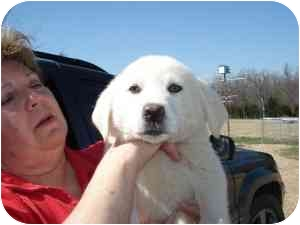 Great Pyrenees/Labrador Retriever Mix Puppy for adoption in Lonedell, Missouri - Prentice