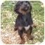 Photo 3 - Dachshund/Chihuahua Mix Puppy for adoption in McArthur, Ohio - JOSIE