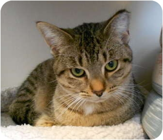 Domestic Shorthair Cat for adoption in Troy, Michigan - Buster