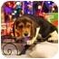 Photo 4 - Beagle Puppy for adoption in ST LOUIS, Missouri - Copper