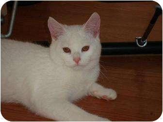 Domestic Shorthair Cat for adoption in Greer, South Carolina - Blanco
