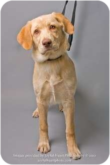 Labrador Retriever Mix Dog for adoption in Crookston, Minnesota - Sage