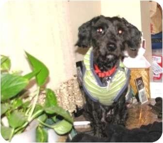 Schnauzer (Miniature)/Poodle (Miniature) Mix Dog for adoption in Winnetka, California - Nike