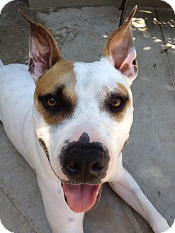 American Staffordshire Terrier Mix Dog for adoption in Encino, California - Gunner