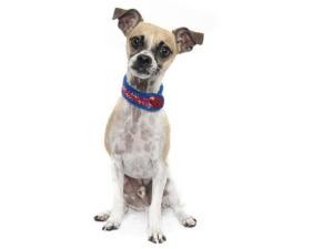 Chihuahua/Chinese Crested Mix Dog for adoption in Sacramento, California - Chief
