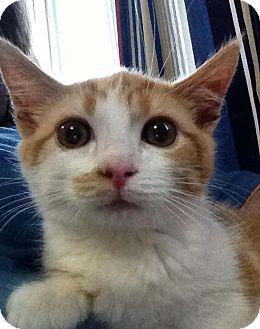 Domestic Shorthair Kitten for adoption in N. Billerica, Massachusetts - Jackson