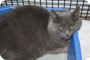Domestic Longhair Cat for adoption in Acushnet, Massachusetts - Daphne