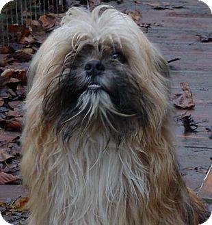 Pekingese Mix Dog for adoption in Metamora, Indiana - Dolly